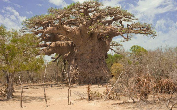 CURIOSITE ECOLOGIQUE : des arbres pas comme les autres !